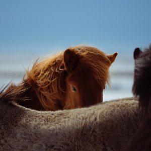 Islanninhevosvaellus, 3 päivää, Paltamo