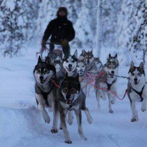 Huskysafari jalaksilla 5 km, Rovaniemi